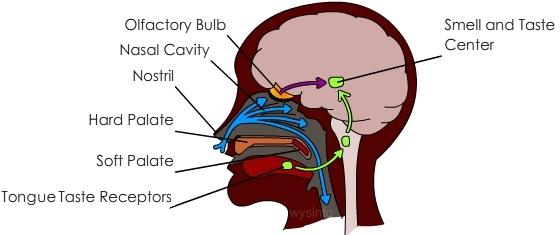 brain smelling