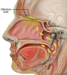 Headolfactorynerveolfactorybulb